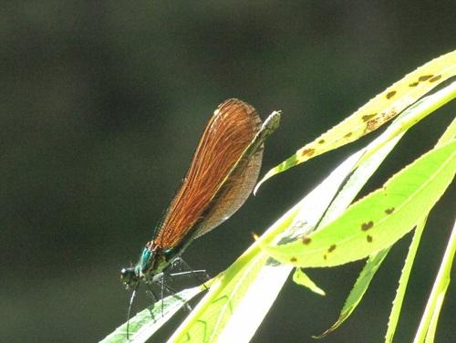 ... une petite libellule...