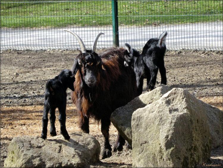 Photos de chèvres des Pyrénées avec ses chevraux
