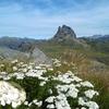 Achillée (Achillea) au sommet du pic d'Anéou