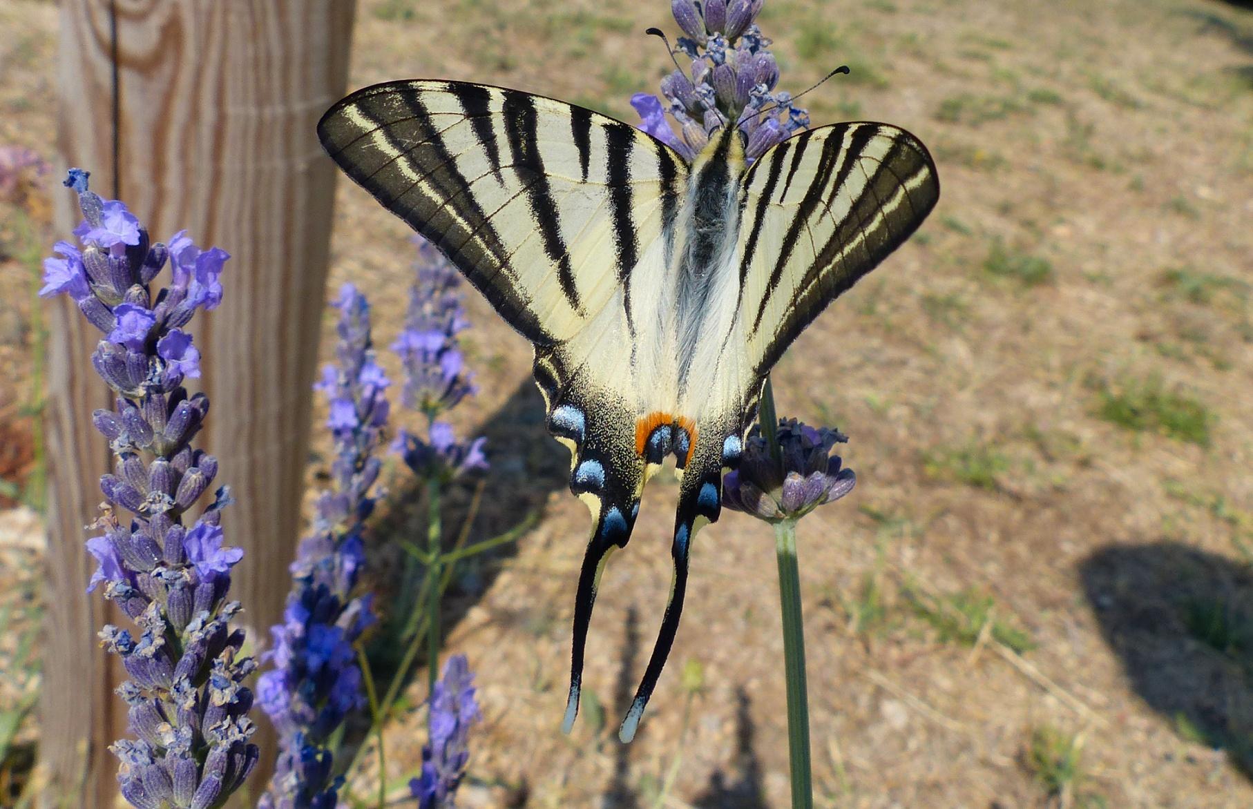 http://ekladata.com/Cp1ONdnlWxCmJPwR8oanj0L9yto/saint-jurs-papillon-flambe.jpg