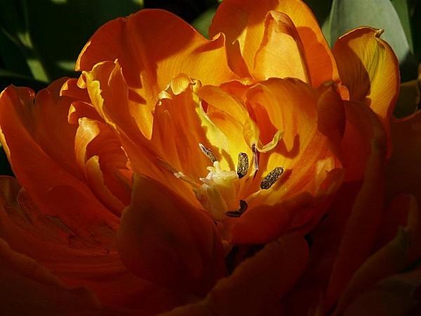 Tulipe-Little-Princess--21-04-2010-002.jpg