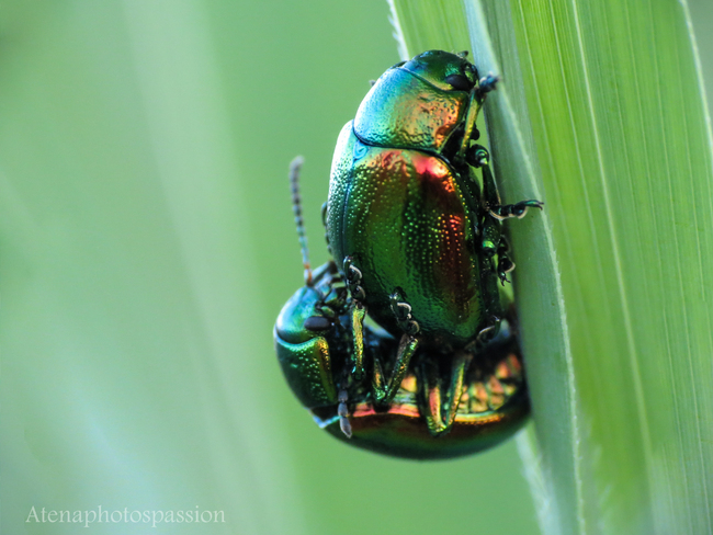 Chrysolina herbacea ,accouplement