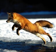 Photos de renards.