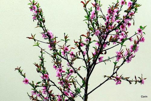 Branches de pêcher en fleur