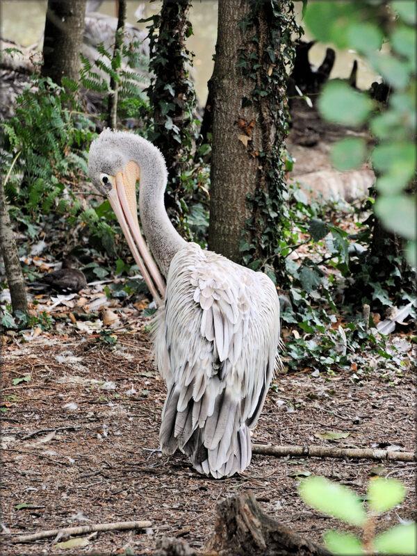 Photo de Pélican à dos rose - Zoo de la Boissière du Doré