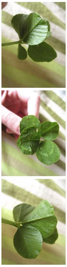 Trèfle à 5 feuilles