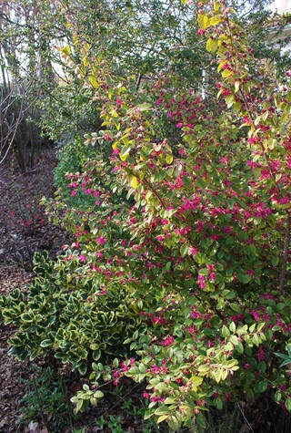 Loropetalum 'Blush'