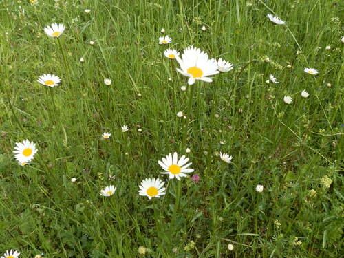 [Herbier-photo]Marguerite commune