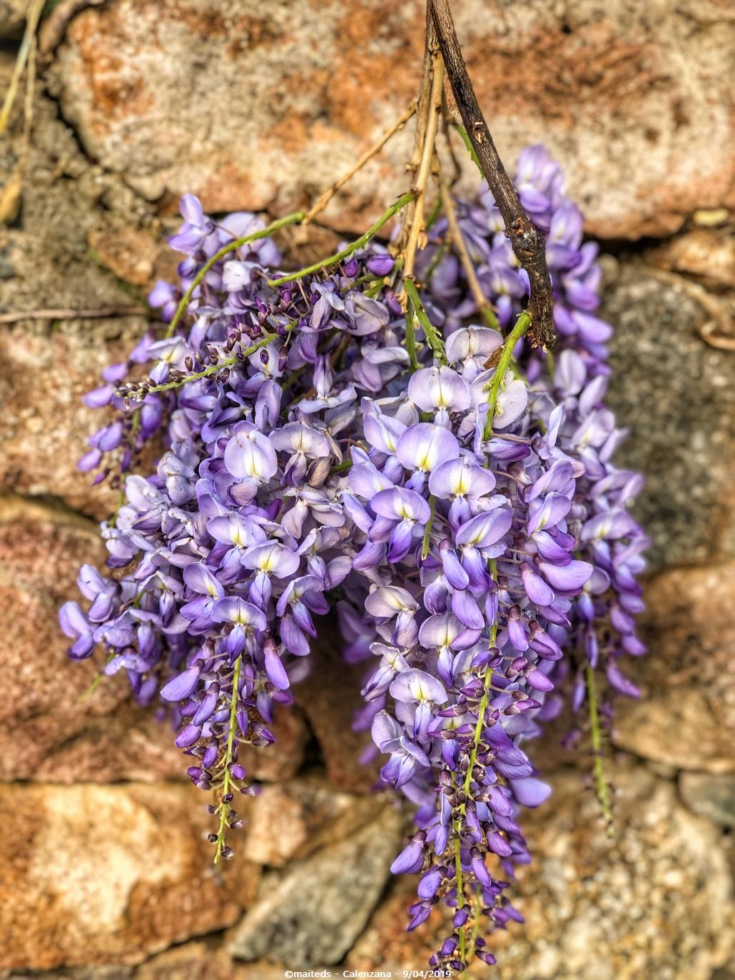 Sur les murs, il y avait des glycines (wisteria)