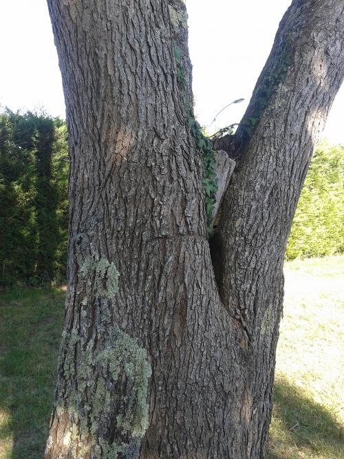 nid de frelons européens