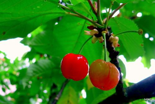 Les fruits : les cerises rouges (4)