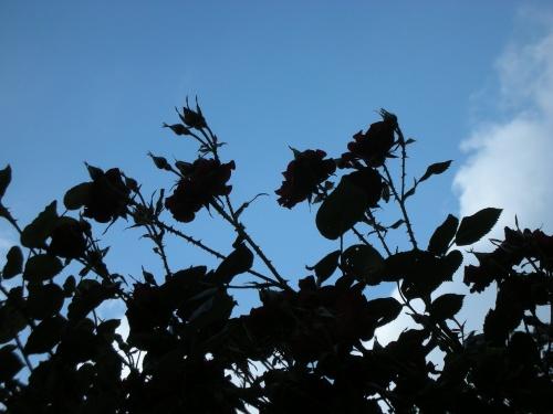 roses en negatif