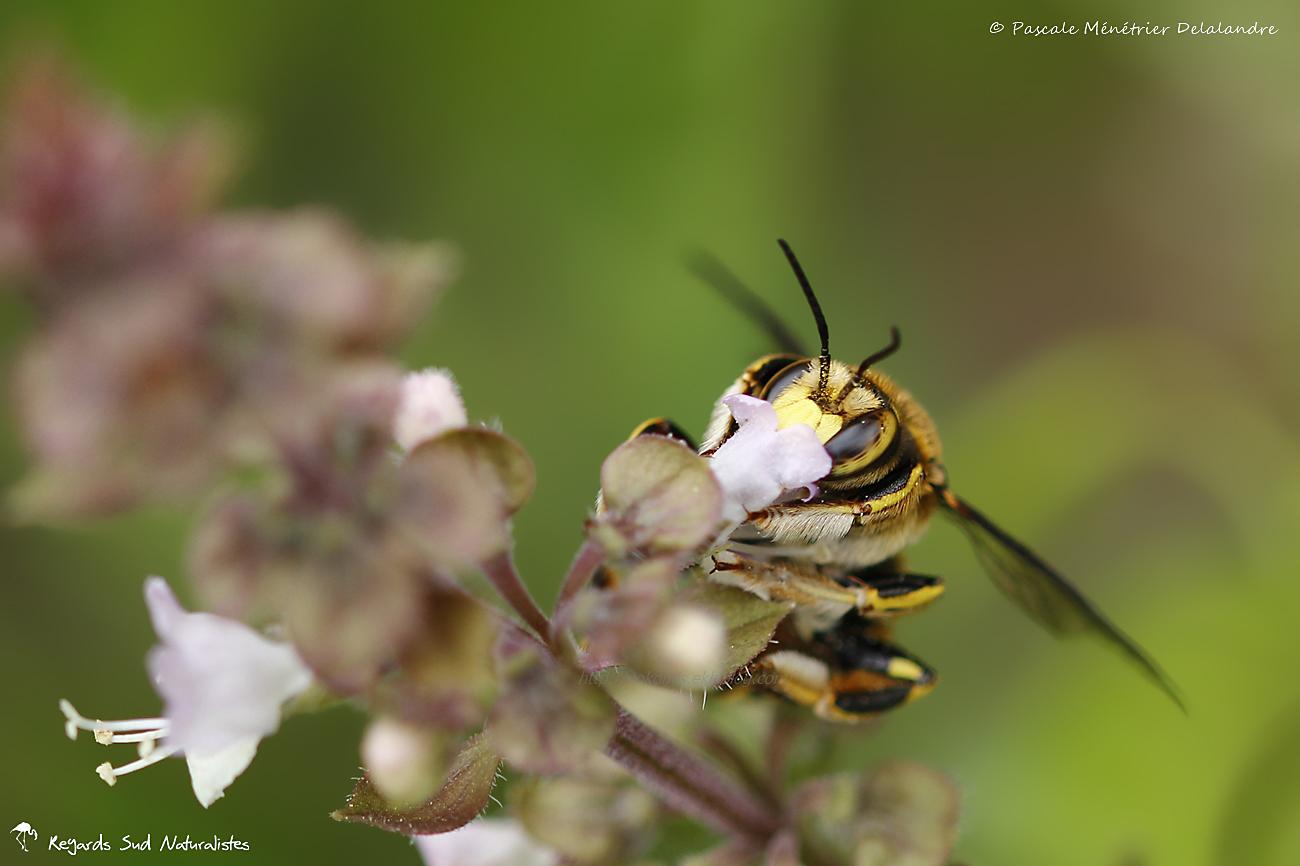 Anthidium sp. ♀