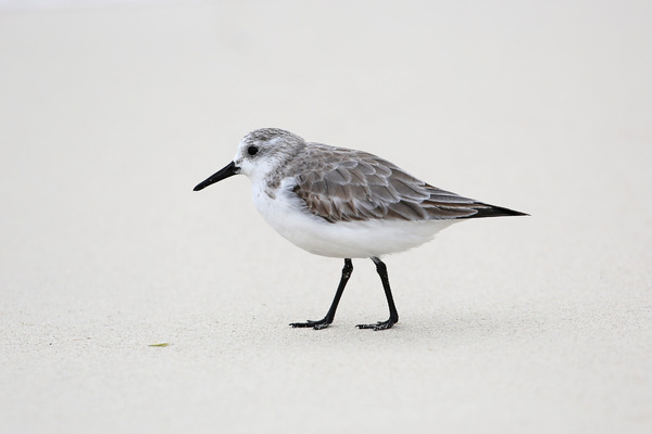 Becasseau sanderling - Îlet Caret