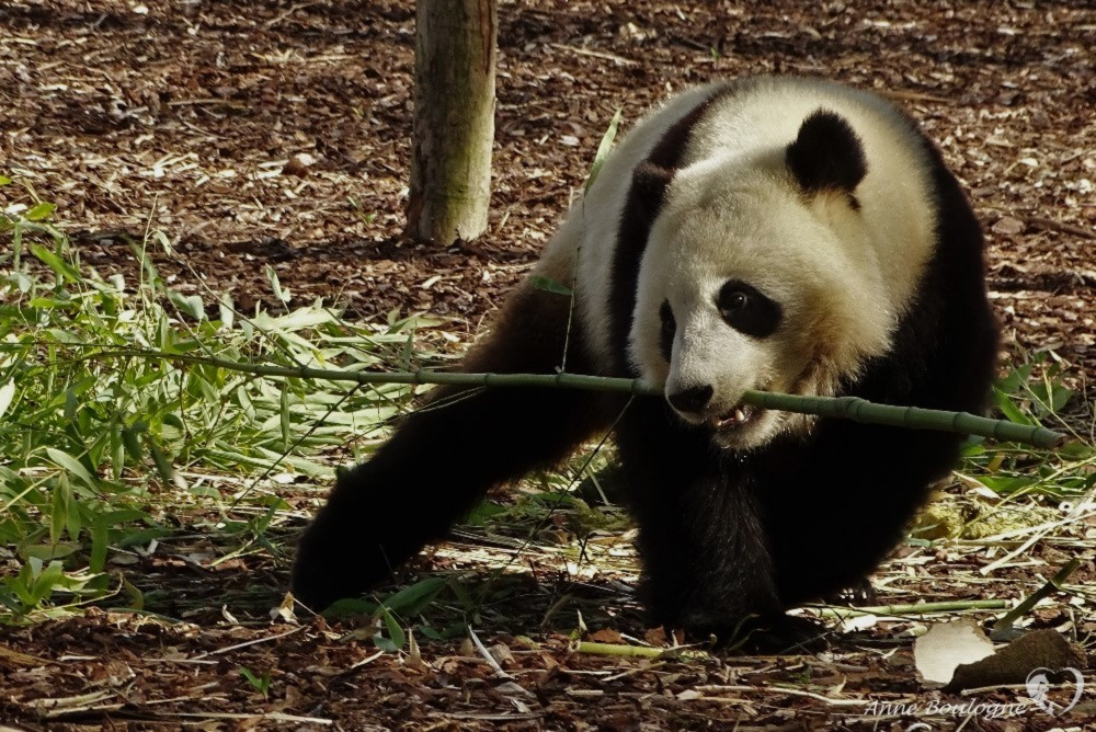 BB panda a bien grandit