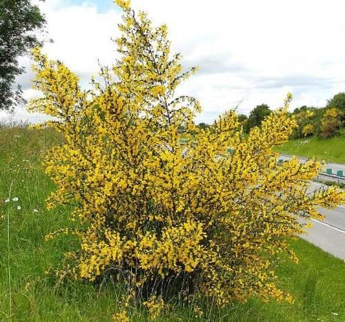 Vertus médicinales des plantes sauvages : Genêt balai