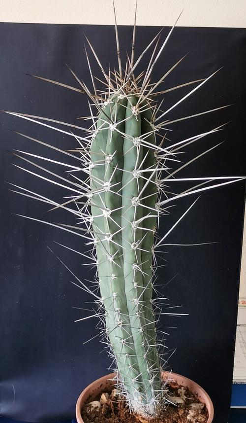 Cactus cure-dent