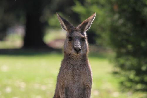 Et les kangourous ?