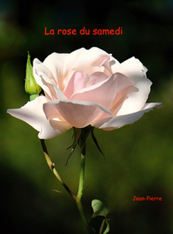 La rose du samedi n° 23