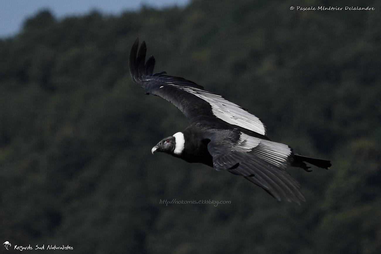 Condor des Andes ♀