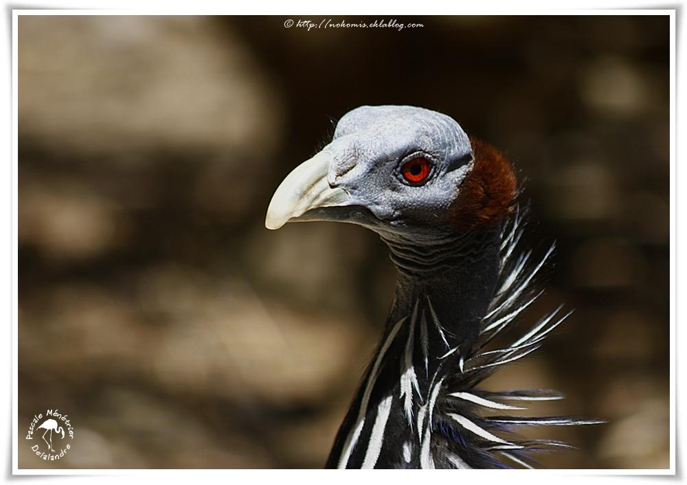 Pintade vulturine - Acryllium vulturinum - Vulturine Guineafowl