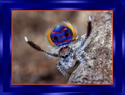 L'Araignée Paon