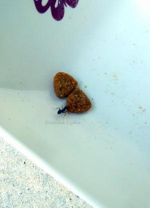 Lasius Niger ou Fourmi des Jardins mange croquette à chat