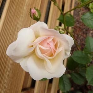 rosier-prosperity---juin-2014---rose-entrouverte--800x800-.jpg