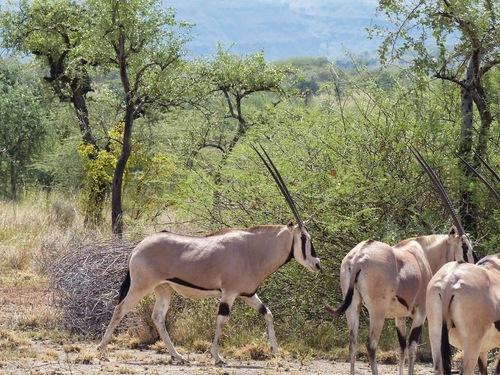 un troupeau d'oryx, peu farouches;