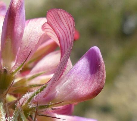 Onobrychis viciifolia - sainfoin - esparcette