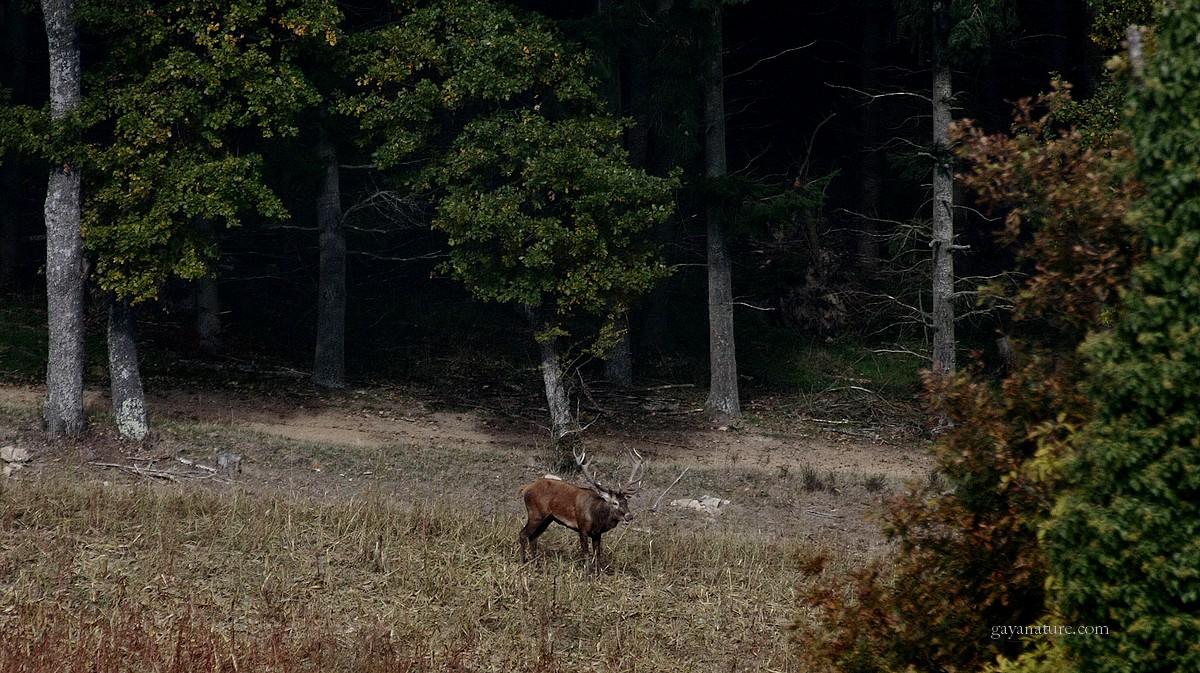 Cerfs en lisière de bois