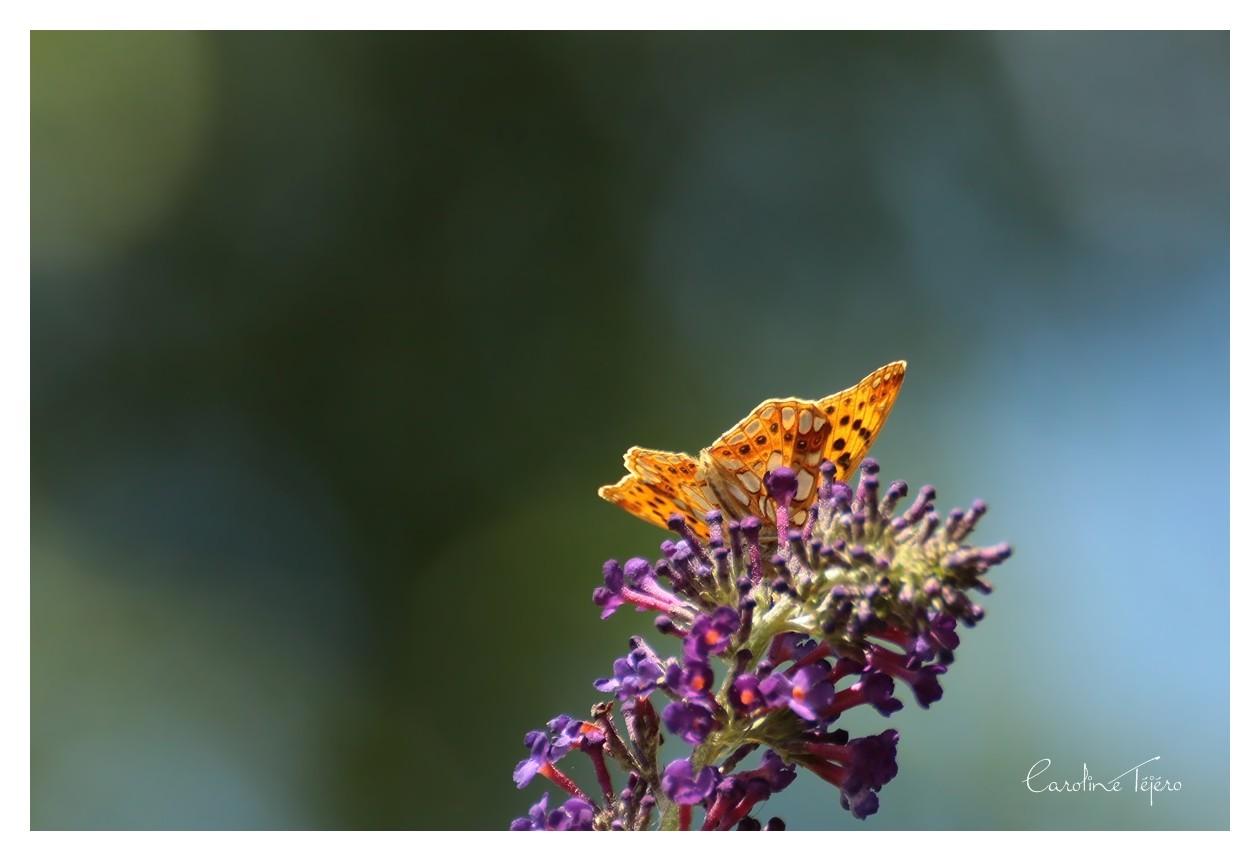 Papillons oranges