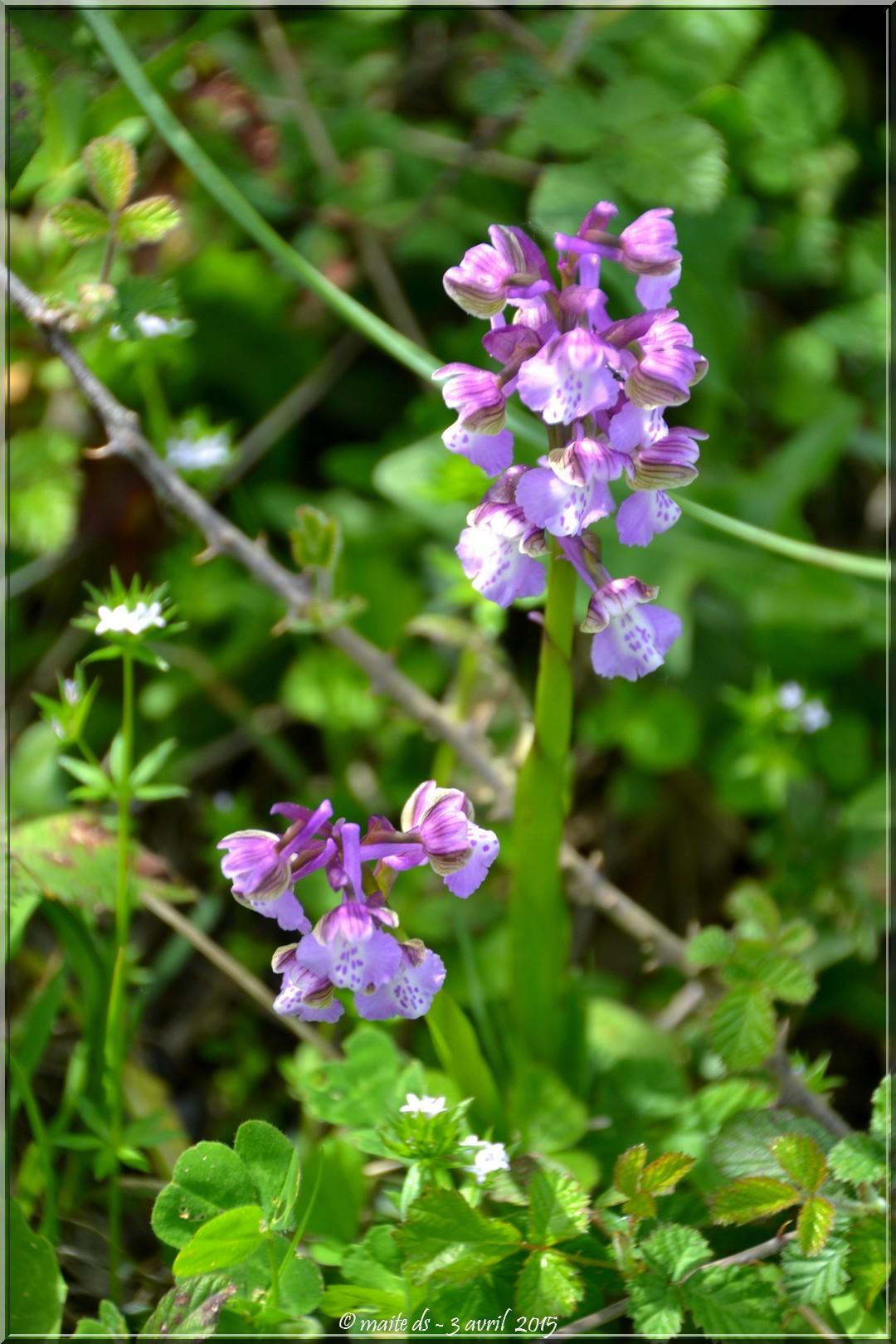 Orchidée sauvage - Corse