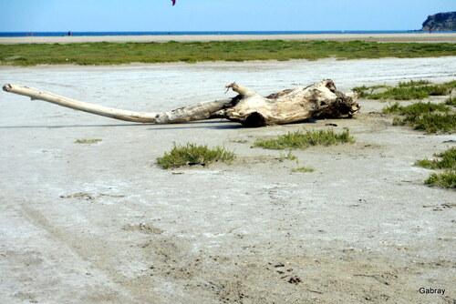 Arbres échoués sur la plage
