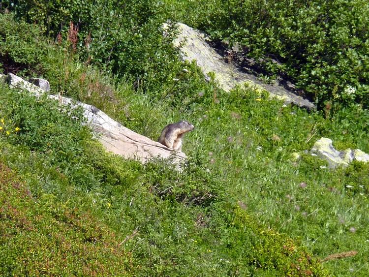 Marmotte au loin