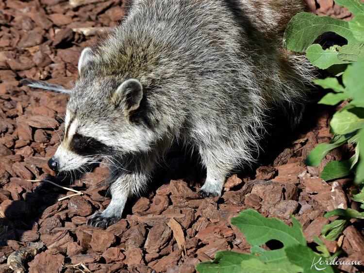 Photos de ratons laveurs - Zoo de Beauval