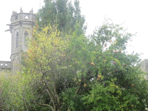 De l'Eden à Narbona, la Lythracée