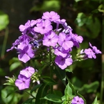 La photo du moment....phlox 'Princesse Sturdza'