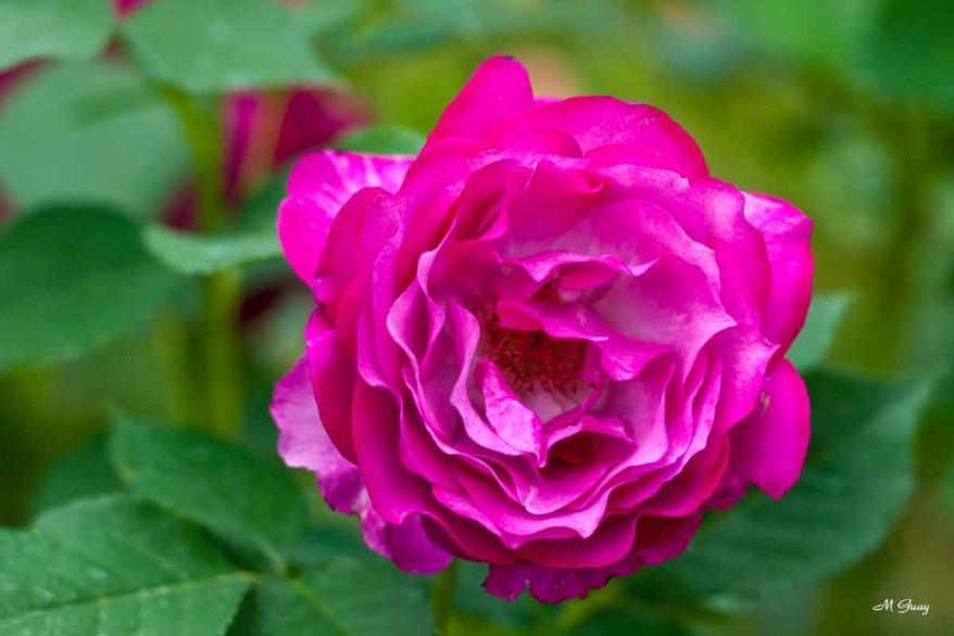 rose-rose-5885.jpg