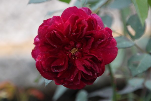 Darcey-Bussell 4604