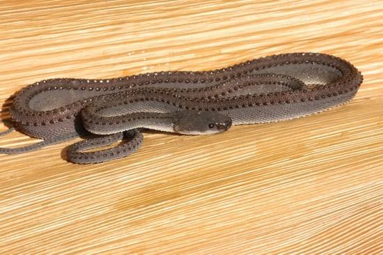 xenodermus javanicus. (23)