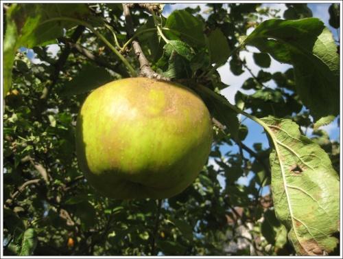 pomme de Normandie
