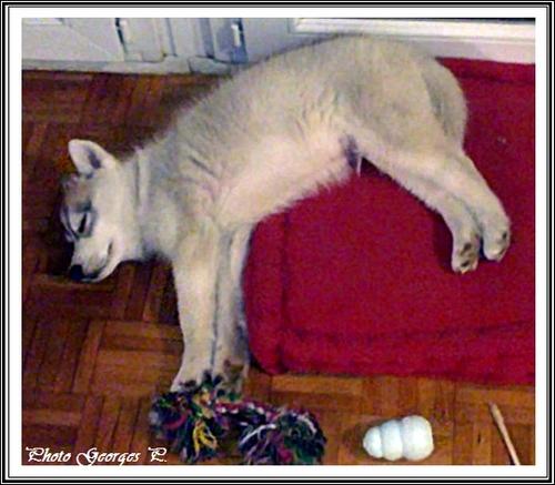 Husky et jouets