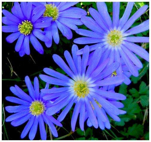 fleurs-bleuees2012.jpg