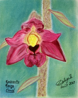 Dessin-Epipactis-rouge-fonce.jpg