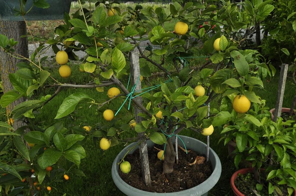 Quelques citrons