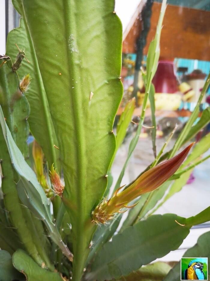 Les belles fleurs du cactus