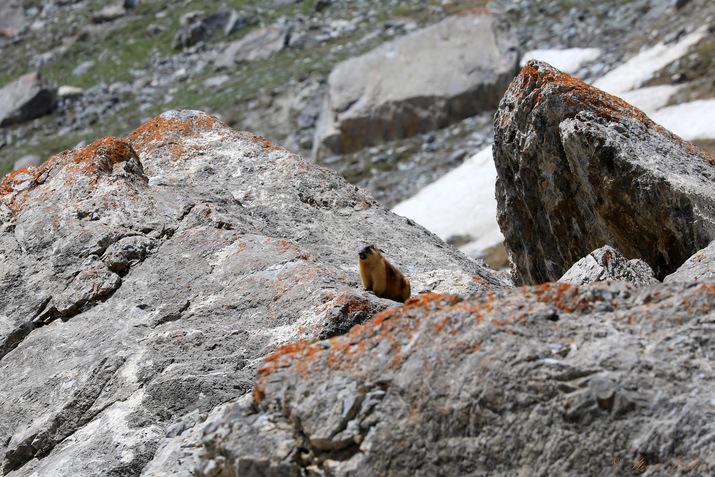 La faune des monts Fanskye, marmotte, Tadjikistan