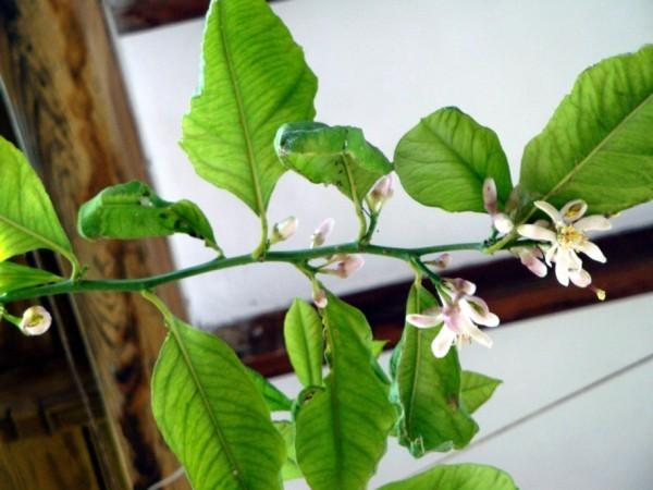 Valdemossa, fleurs d'oranger