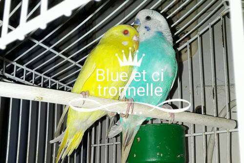citronnelle et blue